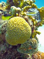 Brain Coral by Lauren-Lee