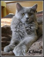 Maine Coon Cloud pic1 by Catskind
