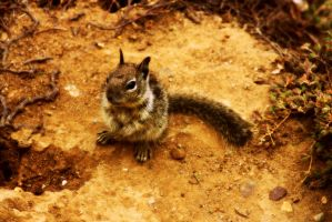 Ground Squirrel by xXOokamikunXx