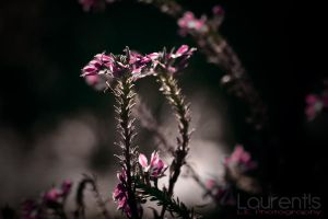 Flowerr by laurentis