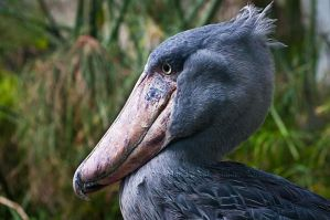 Shoebill by amrodel