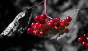 Red Berries Red-only by Danimatie