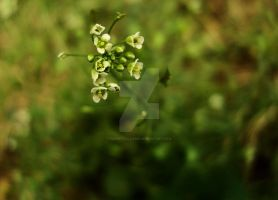 tiny white flowers by PerpetualDame