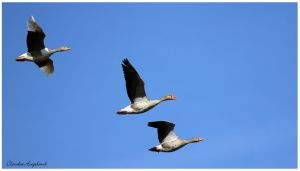 goose by Claudia008