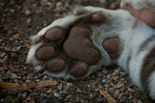 Tger paw by LOmbre24