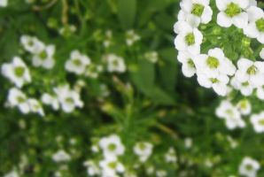 Little White Flowers by r4gd011s4117