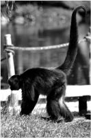 Real Spider Monkey 01 by Skip1967