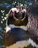 Magellanic Penguin by AzureWindProductions