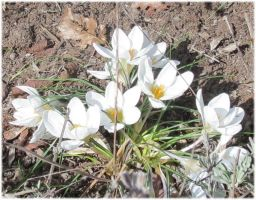 White Crocus 1 by Kattvinge