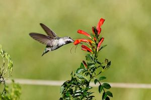 Hummingbird at flower-01 by dkbarto