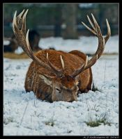 Sleepy Stag by andy-j-s