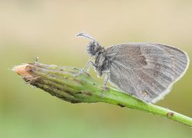 Coenonympha pamphilus by Bulinko