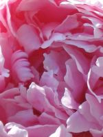 Big Paeonia by Kitsch1984