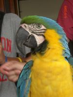 Male Golden Blue Macaw by SN2