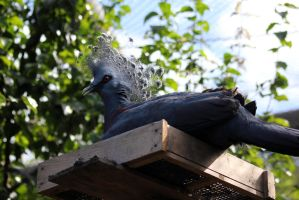 Crowned Pigeon by firenze-design