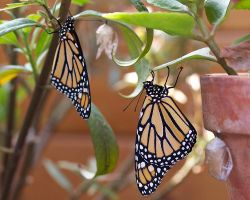 Monarch Pair by 4umypix