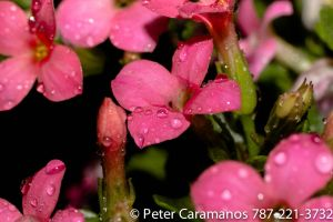 Pink wet flowers with 50mm and flash by Caramanos2000