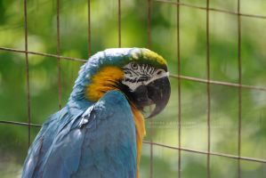 Blue Gold Macaw by 8TwilightAngel8