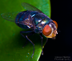Housefly on the house 12 by lee-sutil