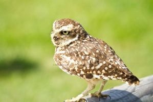 Burrowing Owl by beadtheweed
