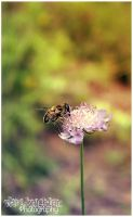 Genus Eristalis 02 by Clerdy