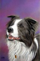 Blue and White Border Collie by chelleblock