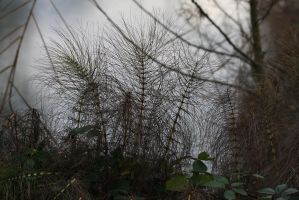Horsetails by organicvision