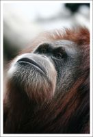 Orangutan - 2203 by eight-eight