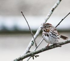 Red Capped Sparrow 8 by acousticrehab