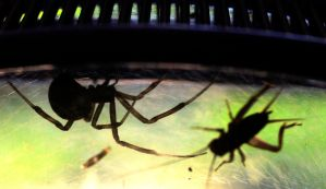 Lucinda the Latrodectus at the lunch counter by Meddling-With-Nature
