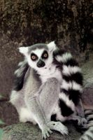 Ring-Tailed Lemur by AnimalsRForever