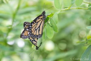 Mating Monarchs by PennyHorrible