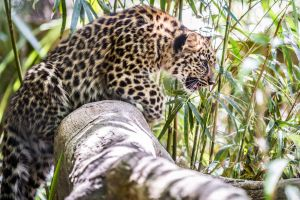 Baby Leopard by DGPhotographyjax