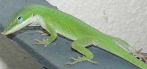 Green  Anole 1 by thetoddclan