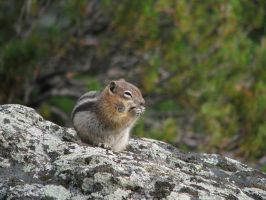 00074 - Snacking Chipmunk on Stone with Lichen by emstock