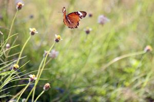 Balinese butterfly in flight by AngiWallace