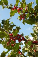 Holly up against the sky 2 by steppelandstock