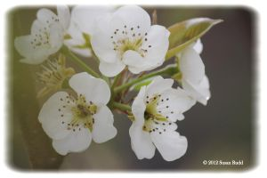 Bartlett Pear Tree Blooms II by Rjet33