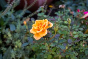 Orange Rose by bowtiephotography