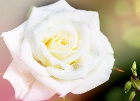 white rose pastel by Luba-Lubov-13