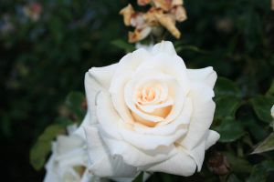 white rose by Elvis3000