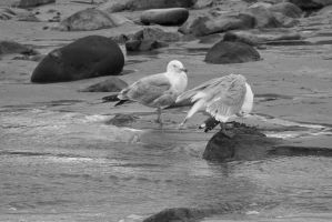 Standing Seagulls, Stare and Preen 4 by Miss-Tbones