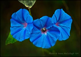 Bee in Morning Glory by substar