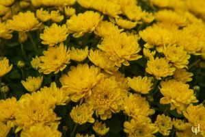 Yellow Chrysanthemum by melintir