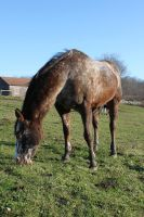Appaloosa Grazing-Front by Salamander-Stock