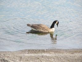 Canada Goose: Reflection by Ladyofshadow