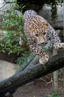 0232 - Persian leopard by Jay-Co