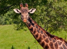 Giraffe by emerica84