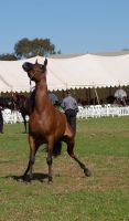 TW Arab bay back legs out head up front view by Chunga-Stock