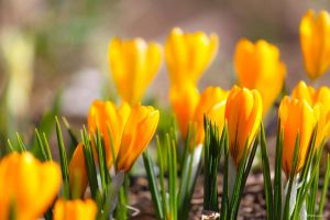 crocus by ogiedomane